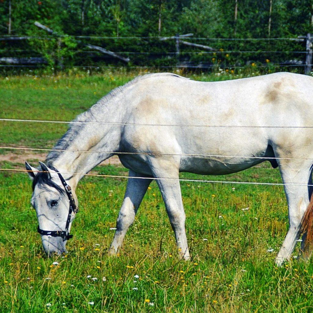 Nieopodal znajduje się stadnina koni